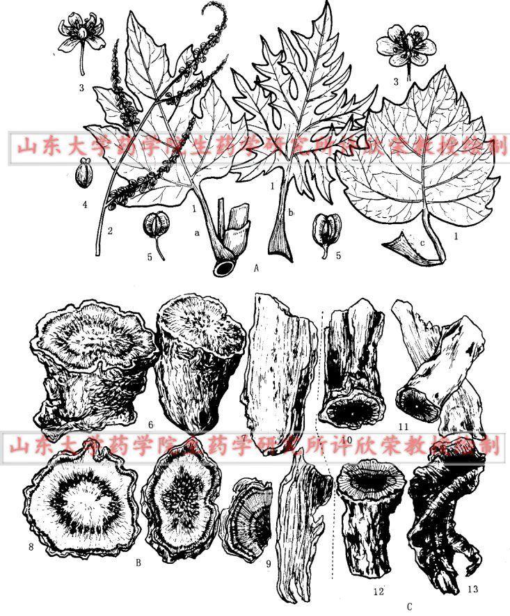 大黄根茎横切面手绘图