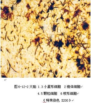多极神经元高倍镜图;