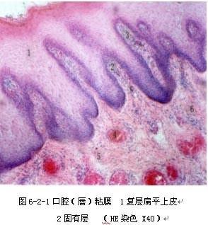 人的口腔上皮细胞_制作人口腔上皮