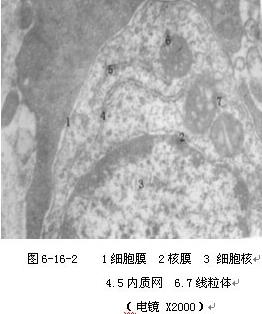 2)光镜下观察a鼠肾小管上皮细胞弥漫性胀大,胞浆中出现许多细小红染
