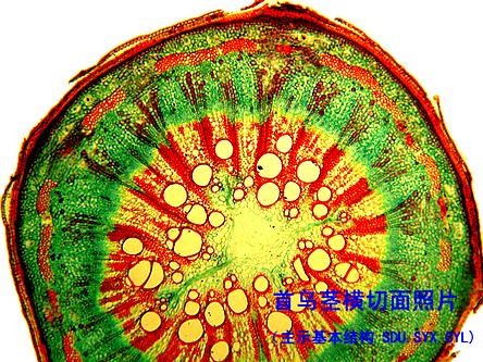 何首乌显微结构图叶绿体亚显微结构图图片