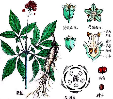 人参原植物图