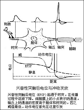 并发生电荷移动,称为局部电流,这个局部电流刺激邻近的安静部位,使之