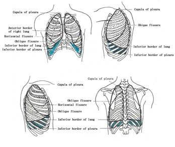 Systematic anatomy of pleurae ccuart Choice Image