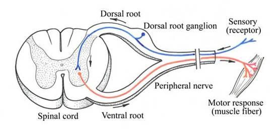 Systematic anatomy a schematic monosynaptic reflex arc ccuart Gallery