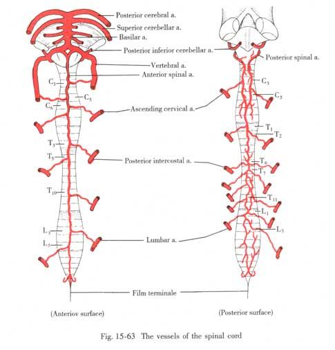 Systematic Anatomy Hier verschmilzt das gewebe mit der dura. www course sdu edu cn
