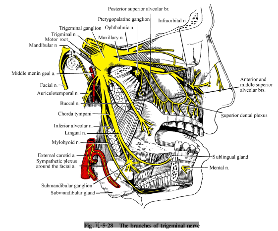 Auriculotemporal nerve anatomy