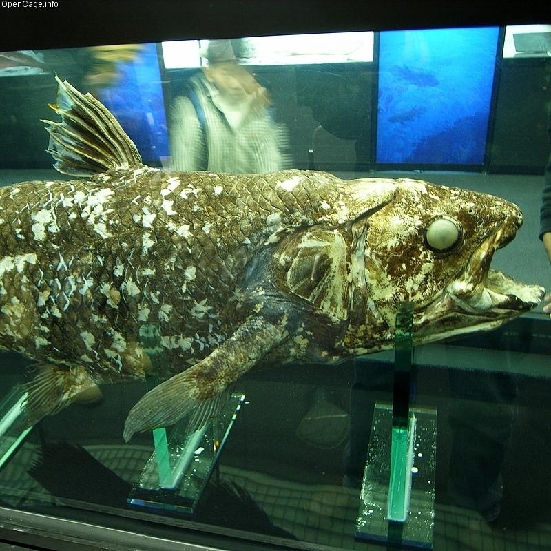 由此可知在万鸦老世界海洋大会展出的那条印尼矛尾鱼标本就是这个被